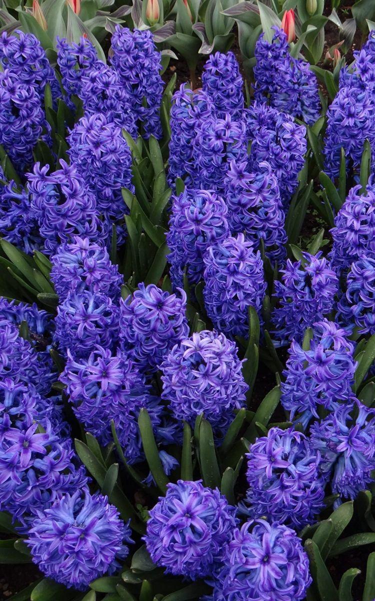 Уважаемые клиенты! В Голландии с этого месяца начинается сезон гиацинтов (hyacinthus)!