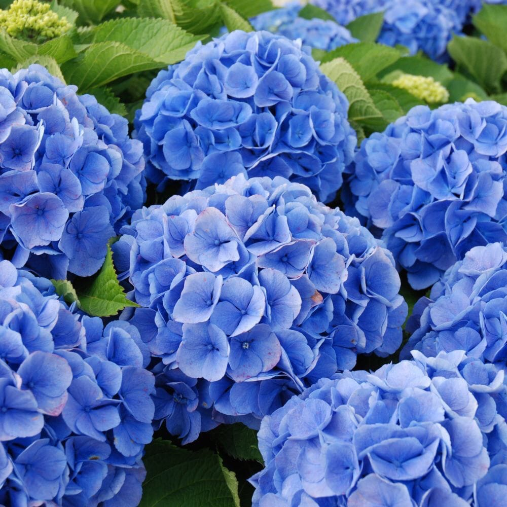 Уважаемые клиенты!  В Голландии закончился сезон гортензии (hydrangea)!