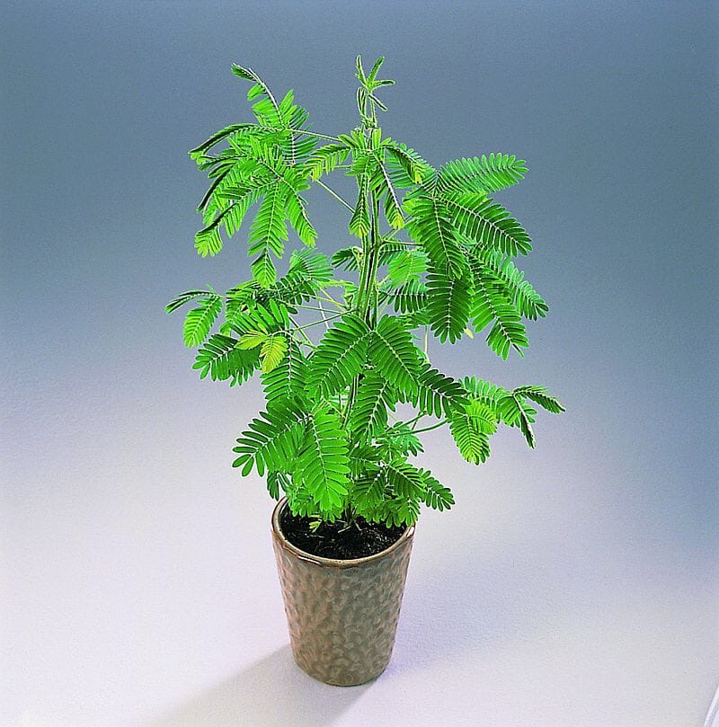 Уважаемые клиенты! В Голландии с этого месяца начинается сезон мимозы стыдливой (mimosa pudica)