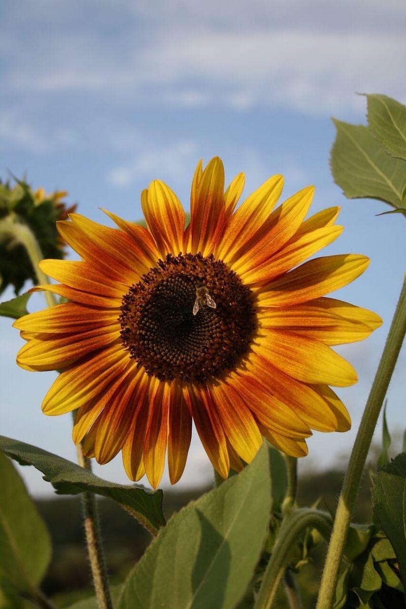 Уважаемые клиенты! В Голландии закончился сезон подсолнечника (helianthus)!