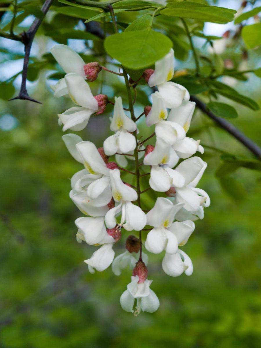 Уважаемые клиенты! В Голландии с этого месяца начинается сезон акации (acacia)